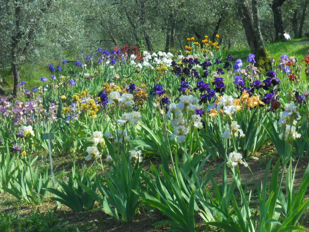 Italian botanical heritage giardino dell iris - Giardino dell iris firenze ...