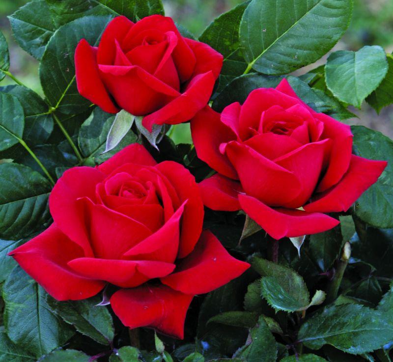 Piante Di Rose Rampicanti : Italian botanical heritage rose barni