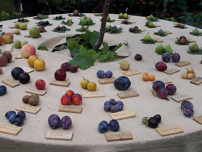 Italian botanical heritage vivai belfiore for Piante antiche da frutto