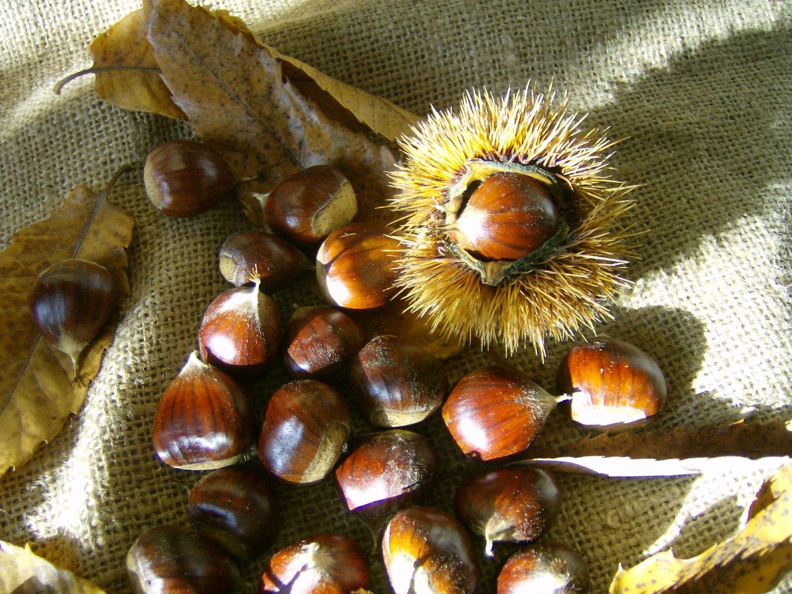 Italian botanical heritage marrone di marradi for Colline o cabine marroni